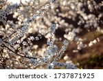 Blooming Cherry Plum. Abstract...