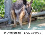 Cute Yellow Footed Rock Wallaby ...