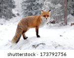 Fox In Forest At High Tatras...