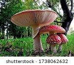 Macro Of Mushroom  Amanita...