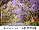 Beautiful Blooming Jacaranda...