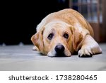 Small photo of an image of a beautiful isolated labrador pet dog with a sad, perhaps sick or discouraged look