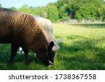 Black Baby Lamb Sheep Eating...
