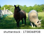 Black Baby Lamb Sheep And Whit...