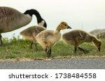 Portrait Of A Canadian Goose...
