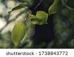 Fresh Linden Leaves In Spring...