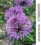 Purple Spherical Flowers In The ...