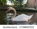 Whooper Swan Or Common Swan ...