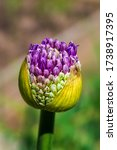close up of flower bud from...