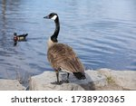 Photo Of An Adult Canada Goose...