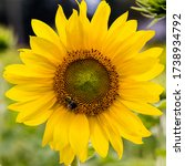 Close Up Of A Sunflower With A...
