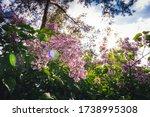 Clusters Of Blooming Purple...