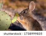 A Young Desert Cottontail...
