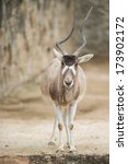 Small photo of Addax (Addax nasomaculatus), or white antelope, standing and looking