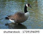 Portrait of a Canada goose in the river. It