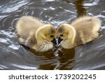 Two Goslings Gazing At Each...