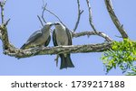 A Pair Of Mississippi Kite...