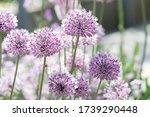 Closeup Of Beautiful Purple...