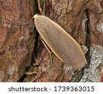 Small photo of Common Footman Moth on a tree trunk