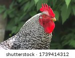 Big Rooster With A Red Comb An...