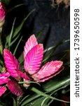 Small photo of Tillandsia 'Antonio' (Tillandsia cyanea x Tillandsia platyrachis) in greenhouse