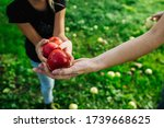 Red Ripe Apples In Hand. In Th...