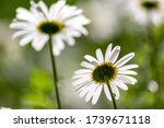 Shiny Marguerite Blossom In...