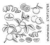 vector sketch citrus fruit... | Shutterstock .eps vector #1739715785