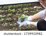 The Gardener Planted Seedlings...