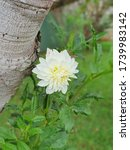 Small photo of Closeup of unitary dahlia in white color. Flower of the season.