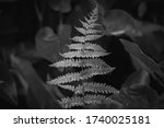 Black and White of a Marsh Fern with droplots of a recent rain on the foilage. Raleigh, North Carolina.