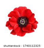 Red Anemone Flower Isolated On...