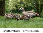 Egyptian Goose Family With Many ...