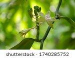 vanilla flower or thai vanilla...   Shutterstock . vector #1740285752
