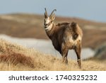 Chamois Male Standing On The...