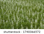 The White Lupine  Also Called...
