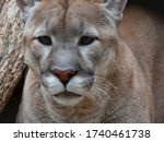 cougar before the attack on the ... | Shutterstock . vector #1740461738