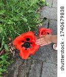 Children\'s Hand Holds Huge Red...