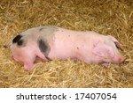 Sleeping pink pig on hay - stock photo