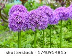 purple globe flower from allium ...