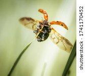 One Orange Ladybug Sits On A...