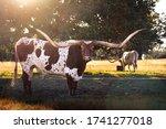 Texas Long Horn Near Boerne