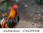 Fighter Rooster Portrait From...