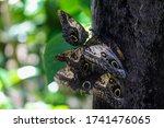 Caligo Eurilochus  Forest Gian...