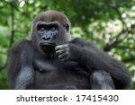 Western Lowland Female Gorilla...