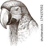 macaw   Shutterstock .eps vector #174157052