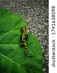 Small photo of Dark and moody photo of Fire Salamander with beautiful yellow-orange spots on the green leaf. Folk green toned image of fire salamander walking on the road with big leaf on background.