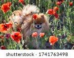 Beautiful Fluffy Dog Walks On A ...