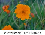 Cosmos Sulphureus Is Also Known ...