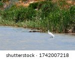 The great egret Ardea alba is hunting in shallow water. Common egret, large egret, or (in the Old World) great white egret or great white heron